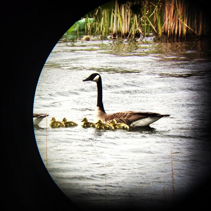 3 - Goose